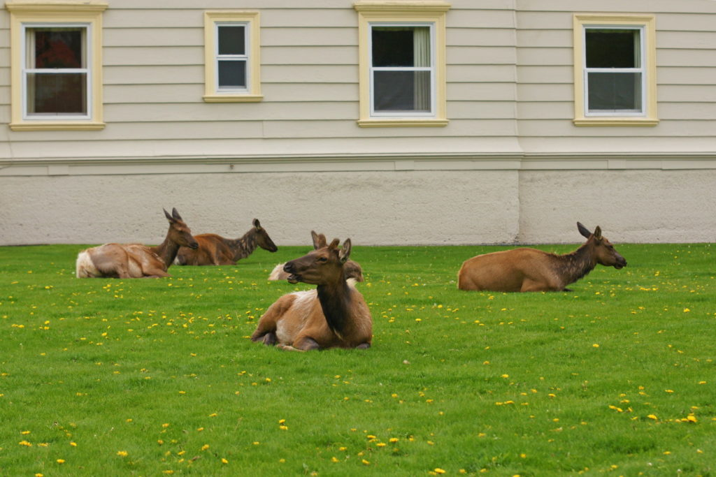 Cervus canadensis enjoy the comfort of the well-manicured lawn.