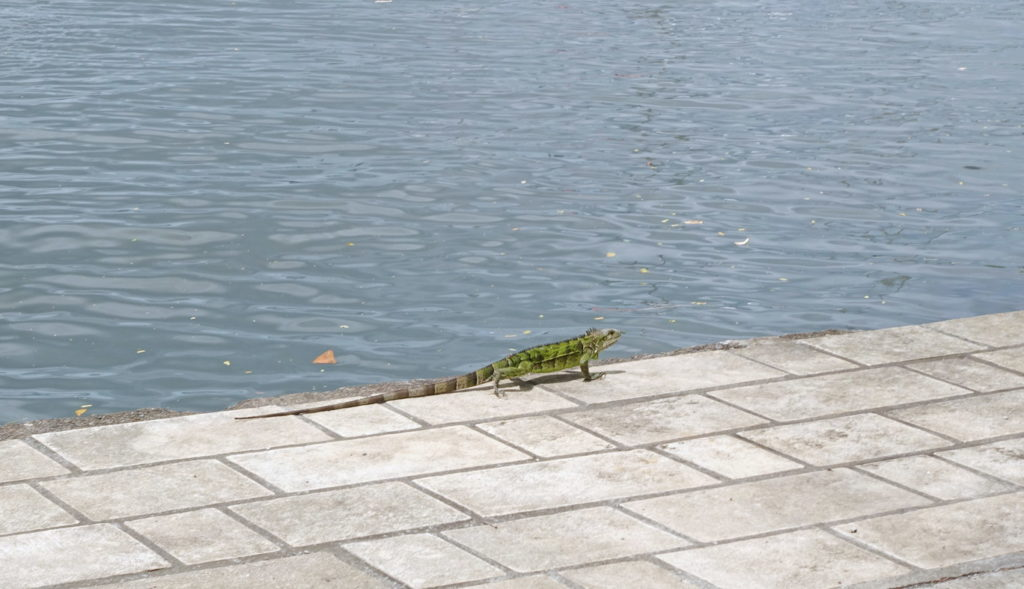 A green iguana, doing what iguanas do.