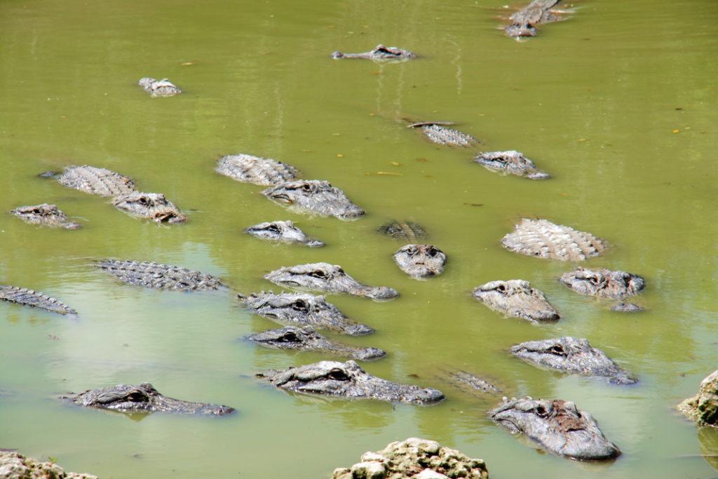 Alligators at the farm.