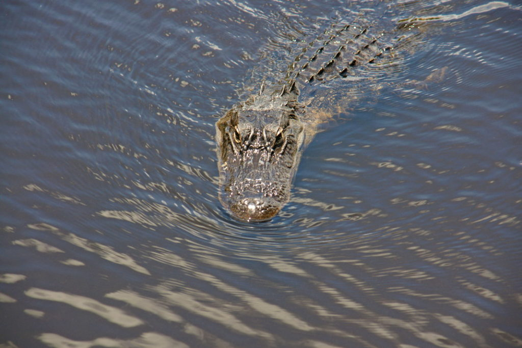 The alligator swims gently through the water.
