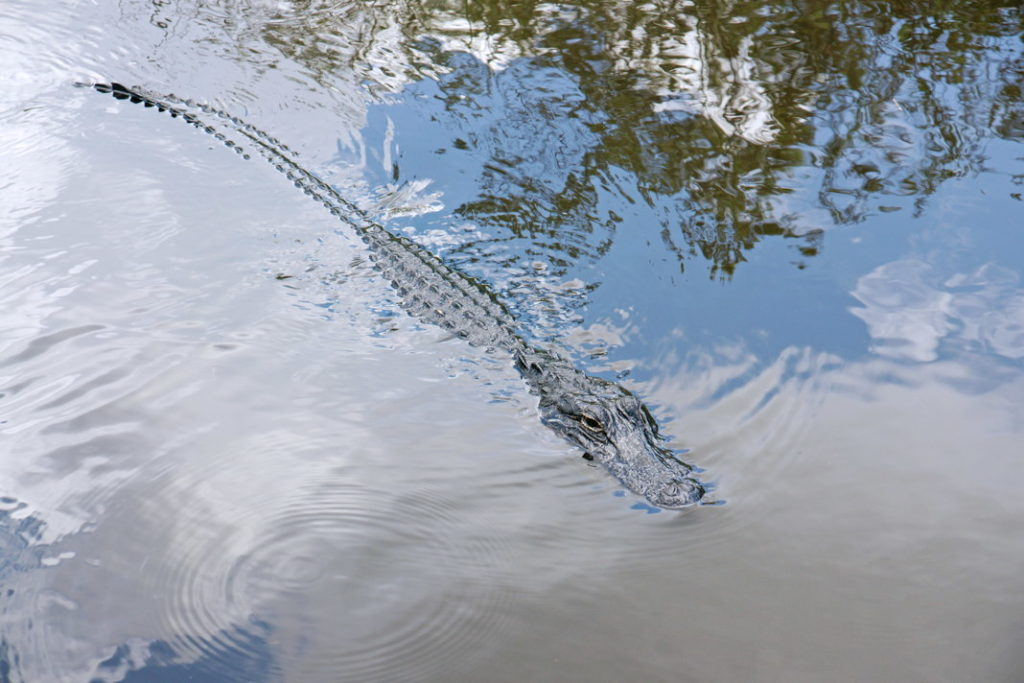 These alligators are small, only about 6 feet long.
