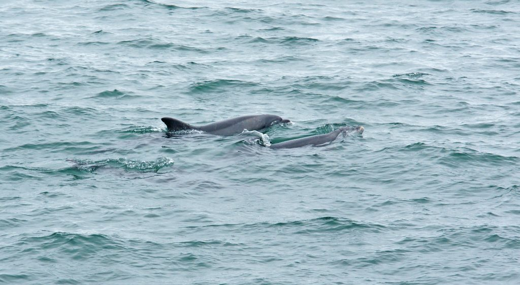 A pair of Bottlenose dolphins swimming side by side.