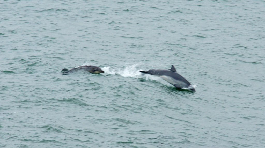 These appear to be Short-beaked common dolphins.