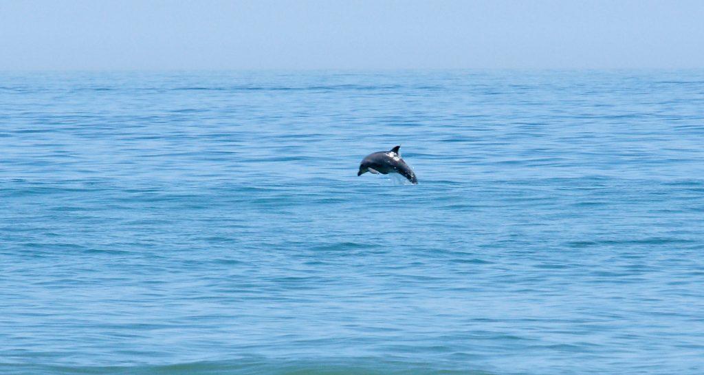 A dolphin flies through the air.