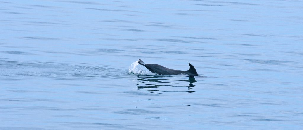 The dorsal fin is made of soft cartilage and often dolphins will obtain notches and nicks in their fins.