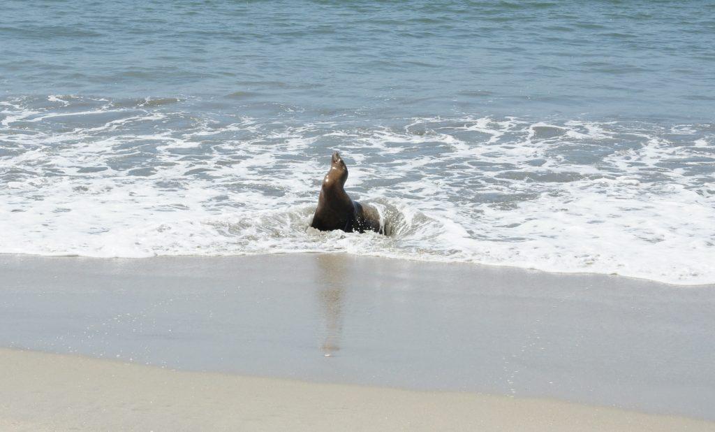 A California sea lion on the beach.