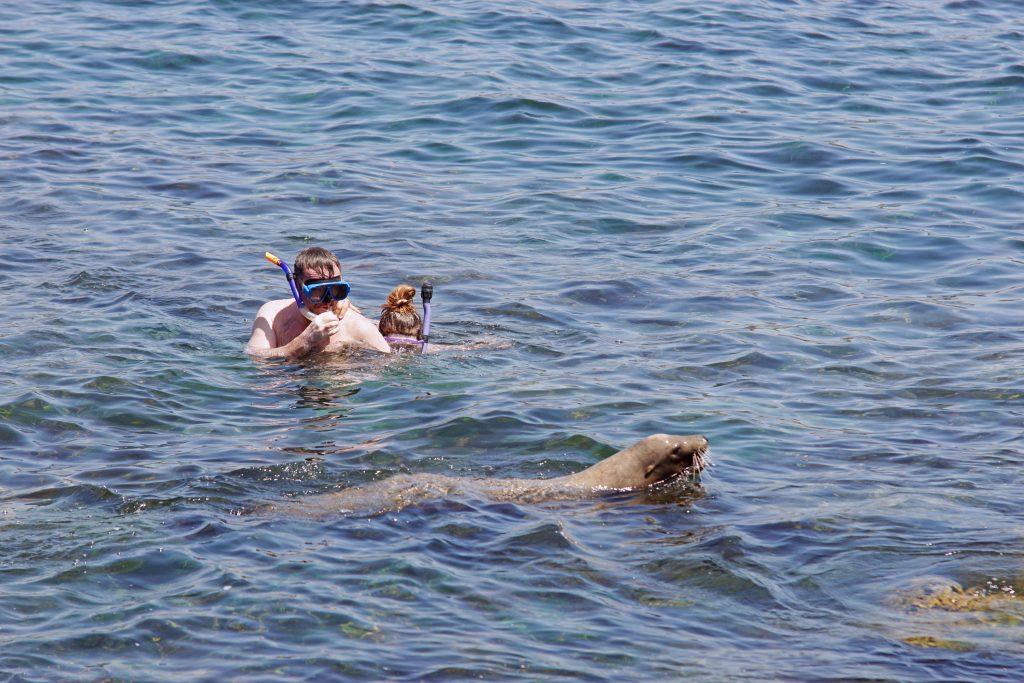 When snorkeling, beware the incautious sea lion.