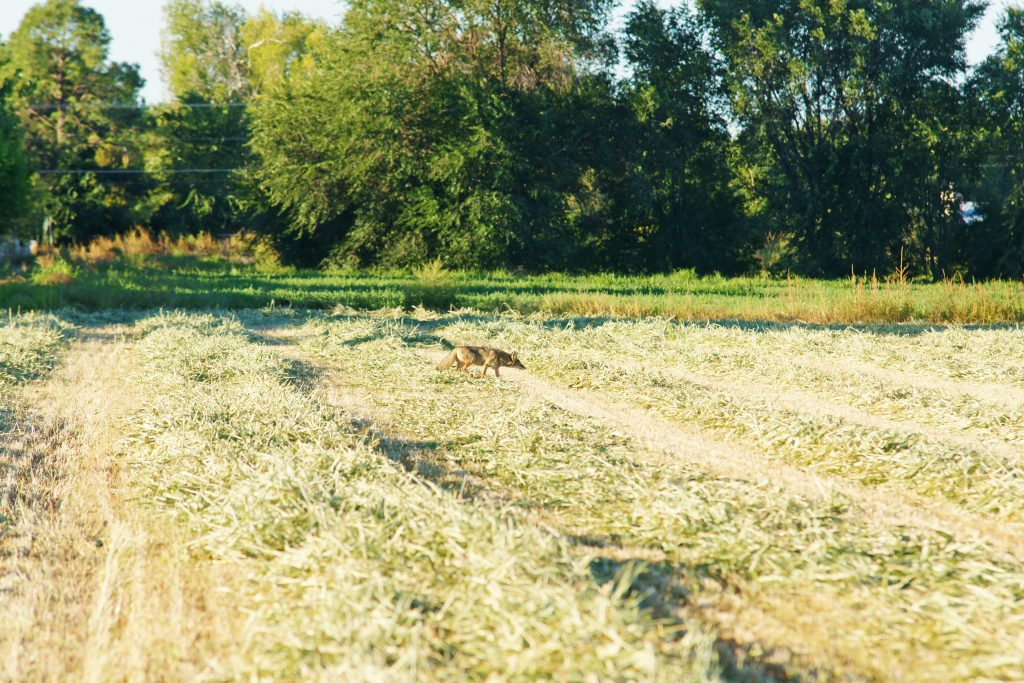 A coyote helps control the rodent population.