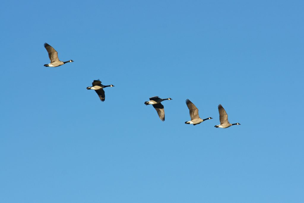 Flocks of Canada geese fly overhead.
