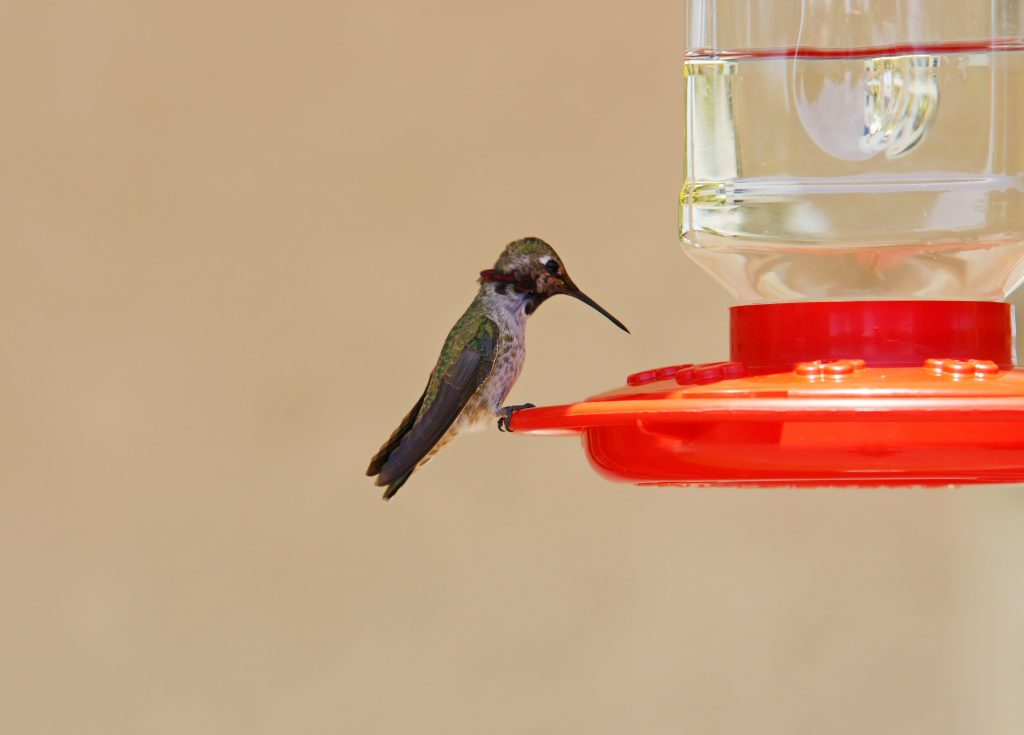 A male hummingbird contemplates his dinner.