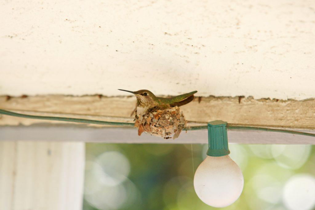 Mama hummingbird keeping warm her eggs.