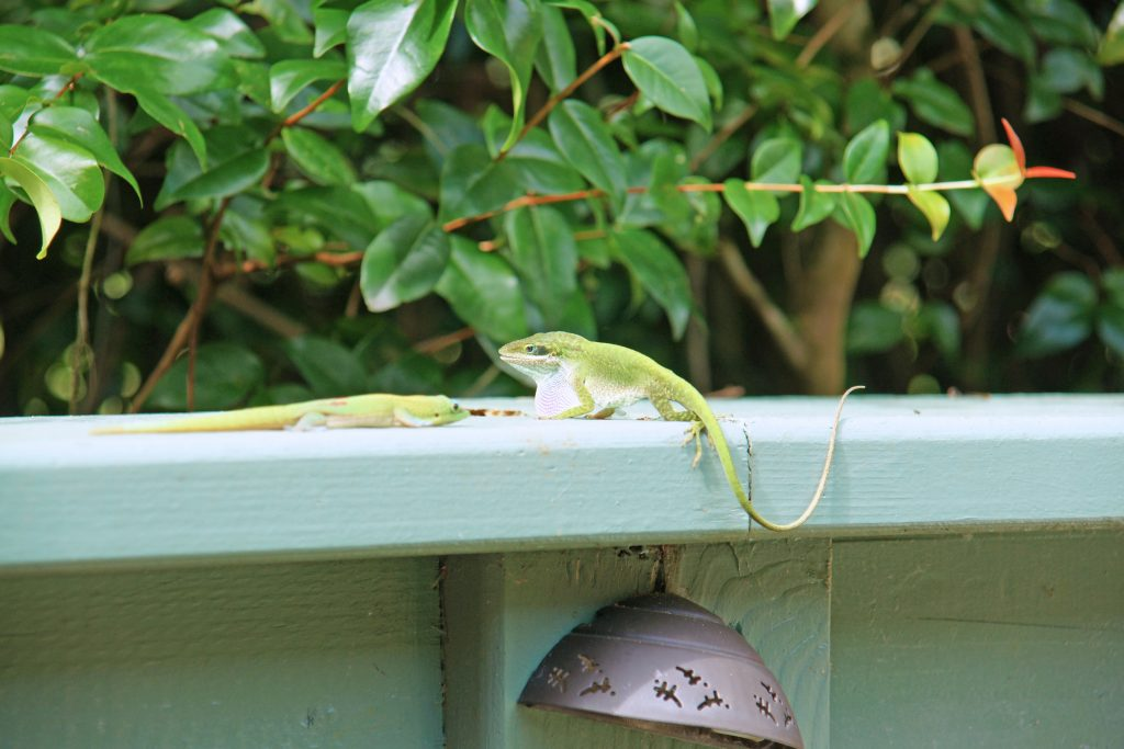 A green anole extends his dewlap.