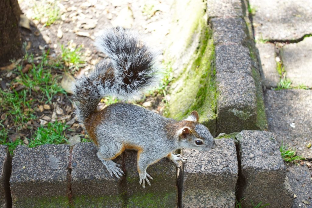 Is this squirrel gray or red?