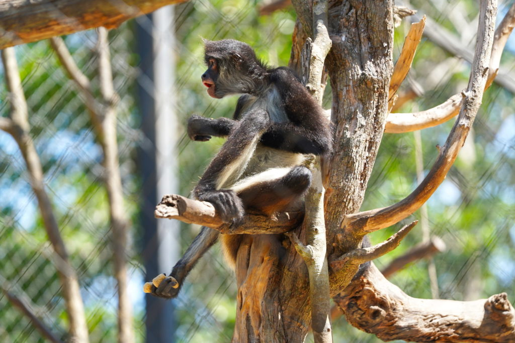 Spider monkey, Spider monkey, does whatever a Spider monkey can.